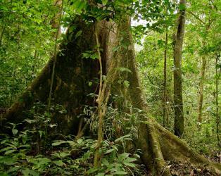 Дерево габон