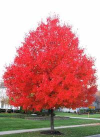 дерево клён