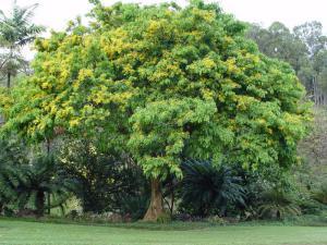 Дерево падук