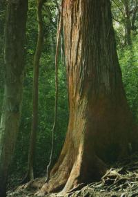 Дерево сапеле